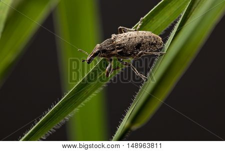 Pest Beetle On Cereal Blades