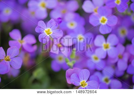 Background from small purple flowers. Shallow depth of field