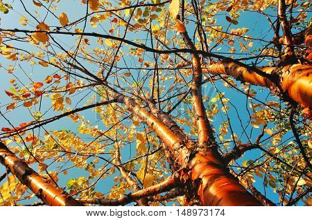 Autumn sunny landscape of bird cherry tree - in Latin Prunus maackii also Padus maackii - against blue sky in autumn sunny day. Autumn tree with yellowed autumn leaves. Autumn landscape sunny nature