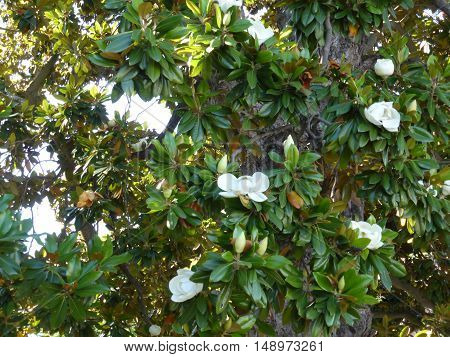 Large white flowers on a tree ficus.