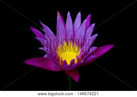 Lotus Flower In A Pond With Black Background