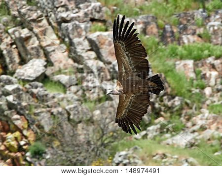 Griffon vulture in flight with cliffs in the background