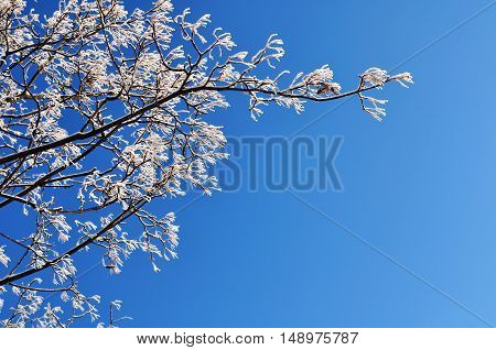 Winter frosty tree branches of the winter tree against blue sunny sky. Winter background with free space for text. Closeup view of winter nature. Winter tree branch in sunny weather