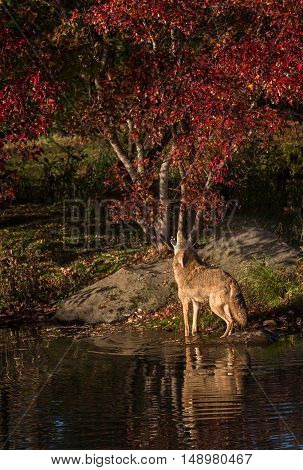Coyote (Canis latrans) Howls in Pond - captive animal