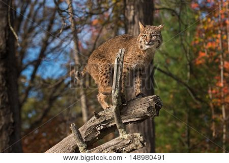Bobcat (Lynx rufus) Steps Up on Branch - captive animal