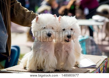 Two terrier puppy sitting on the green grass