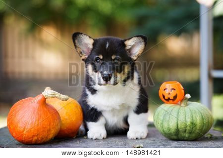 welsh corgi puppy posing outdoors with pumpkins