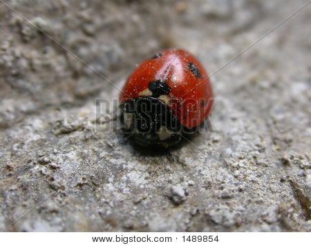 Lieveheersbeestje op een rots