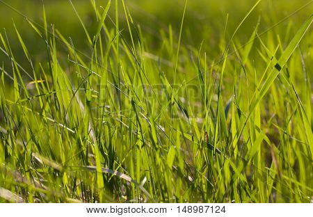 The grass in the sunlight closeup. Green grassy background