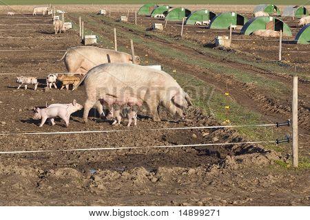 Free Range Pigs