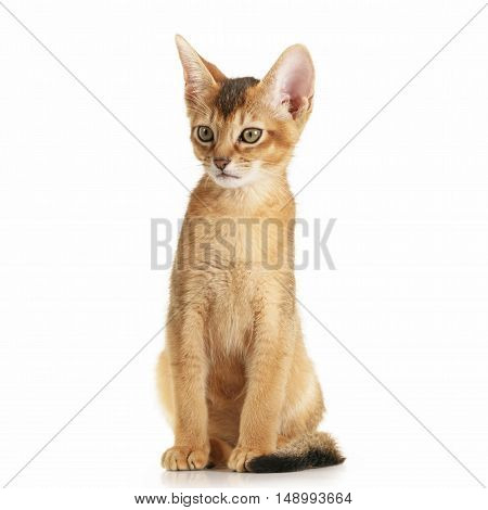 wild color abyssinian kitten 3 month sitting on white background surprised, isolated