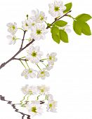 stock photo of cherry trees  - illustration with cherry tree flowers isolated on white background - JPG