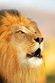 Постер, плакат: Мужской Африканский лев рычит как солнце садится