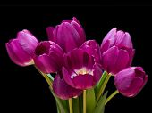 picture of flower-arrangement  - a bunch of purple tulips that are opening  - JPG