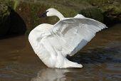picture of trumpeter swan  - A beautiful trumpeter swan displays its wings - JPG