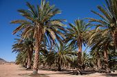 stock photo of northern hemisphere  - the largest date palm agricultural farm in the southern hemisphere in the northern cape south africa - JPG