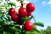 picture of titillation  - cherries from a different perspective - JPG
