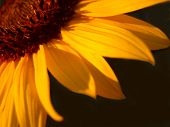 Orange Sunflower Petals On Black poster