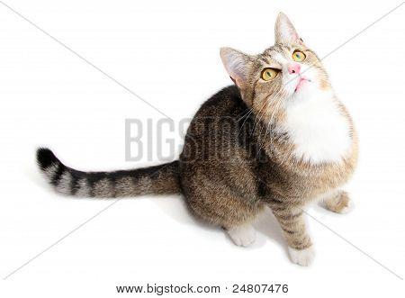 nice grey cat