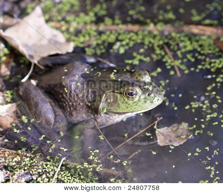 A Bullfrog In Shallow Water At The Edge Of A Pond