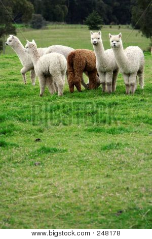 Alpacas Distant