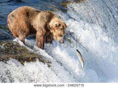 Large Alaska Brown Bear Waiting For Salmon