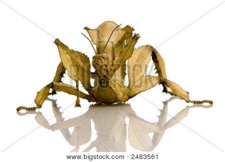 Stick Insect, Phasmatodea - Extatosoma Tiaratum