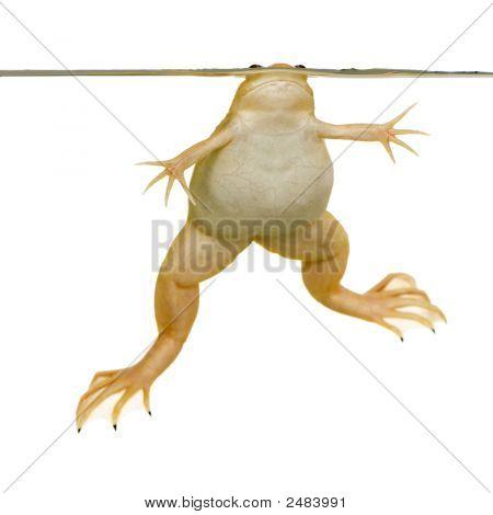 Frog - Xenopus Laevis