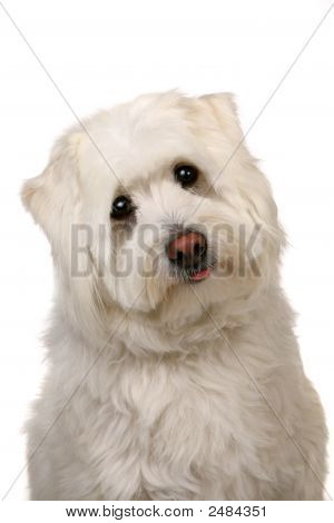 Woeful White Mut Dog With Big Eyes