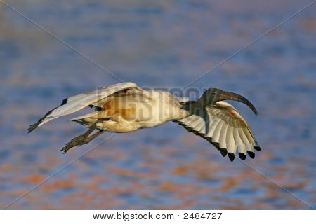 Sacred Ibis Raw_0046