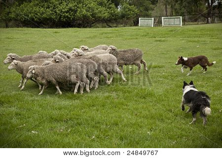 Sheep Herding_02