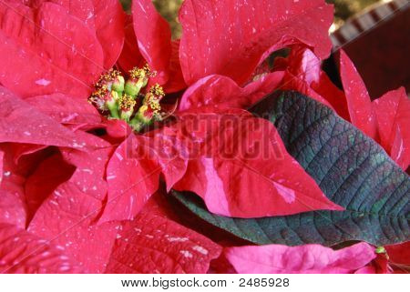 Christmas Poinsetta