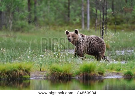 Brown Bear next to a Water