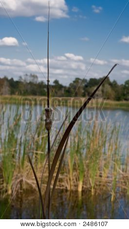 Decaying Cattail Lower