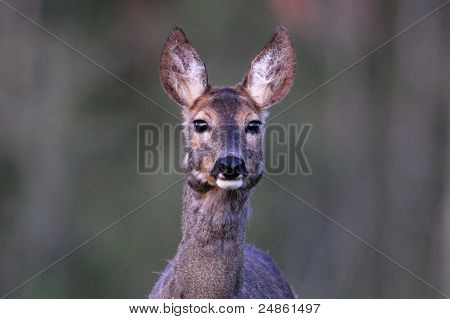 Roe Deer In Springtime