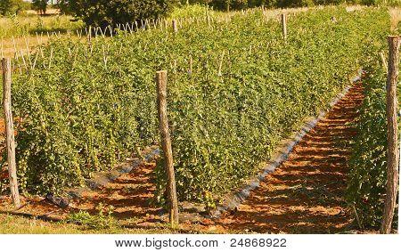 Cheri Species Cultured Tomato