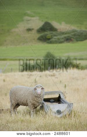 Sheep At An Old Trough