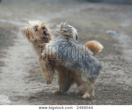 Luta de cães