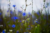 Cornflower, Wildflower In The Meadow, Field, Botany poster