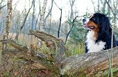 picture of cattle dog  - portrait of a bernese cattle dog dog in the nature - JPG