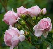 Beautiful Pink Rose In A Garden, In The Style Of Vintage Roses. Rose Cinderella, Kordes poster
