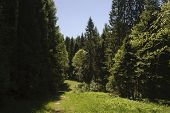 Fir-wood Landscape With Footpath, Sunny Summer Day poster