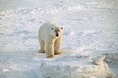 picture of polar bears  - Polar bear standing on the frozen tundra - JPG