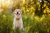 Active, Smile And Happy Purebred Labrador Retriever Dog Outdoors In Grass Park On Sunny Summer Day. poster