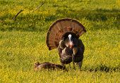 foto of turkey-hen  - Photograph of a large tom turkey strutting and displaying in front of a female in a spring time Appalachian meadow - JPG