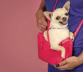 Dog In A Handbag. Chihuahua Dog Smiling In Pink Bag. Puppy Face With Happy Smile On Violet Backgroun poster