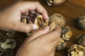 Hands Of A Child Dissecting Fresh Walnuts poster