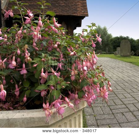 Church Fuchsias