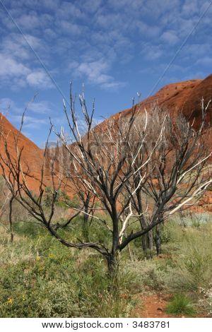 Kata Tjuta Trees