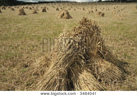 Wheat stooks in field at harvest time